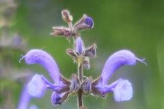 Salvia-pratensis-DOBERSTEIN-Judith-Hecklingen-Wegesrand-24.5.2019