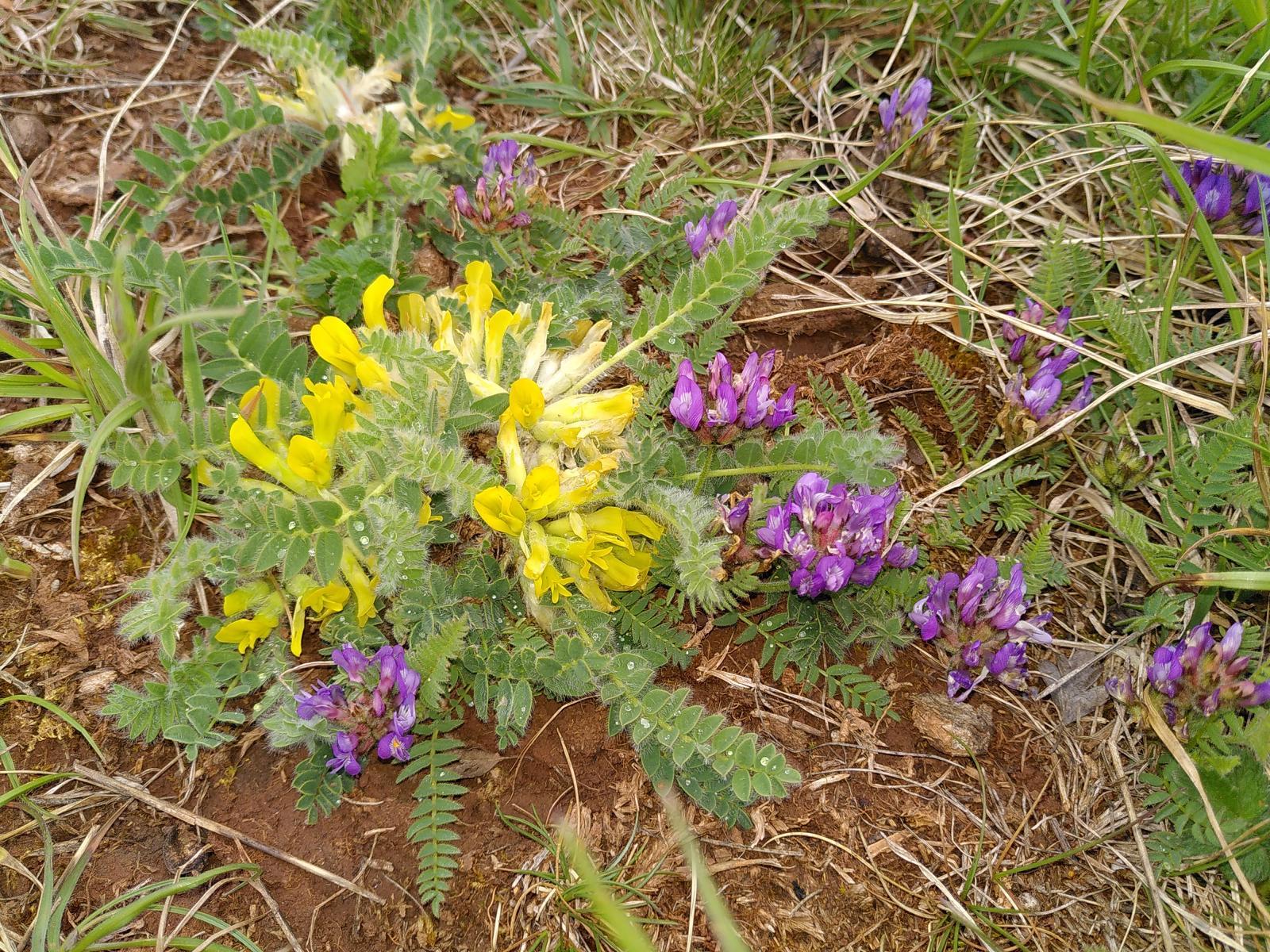 2_Astragalus-exscapus-und-A.-danicus-GRUENHAGE-Vera-Seeburg-Galgenberg-03.05.2020