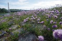2_Allium-schoenoprassum-BULAUMichael-Elbaue-Schönebeck-02.06.2019-5