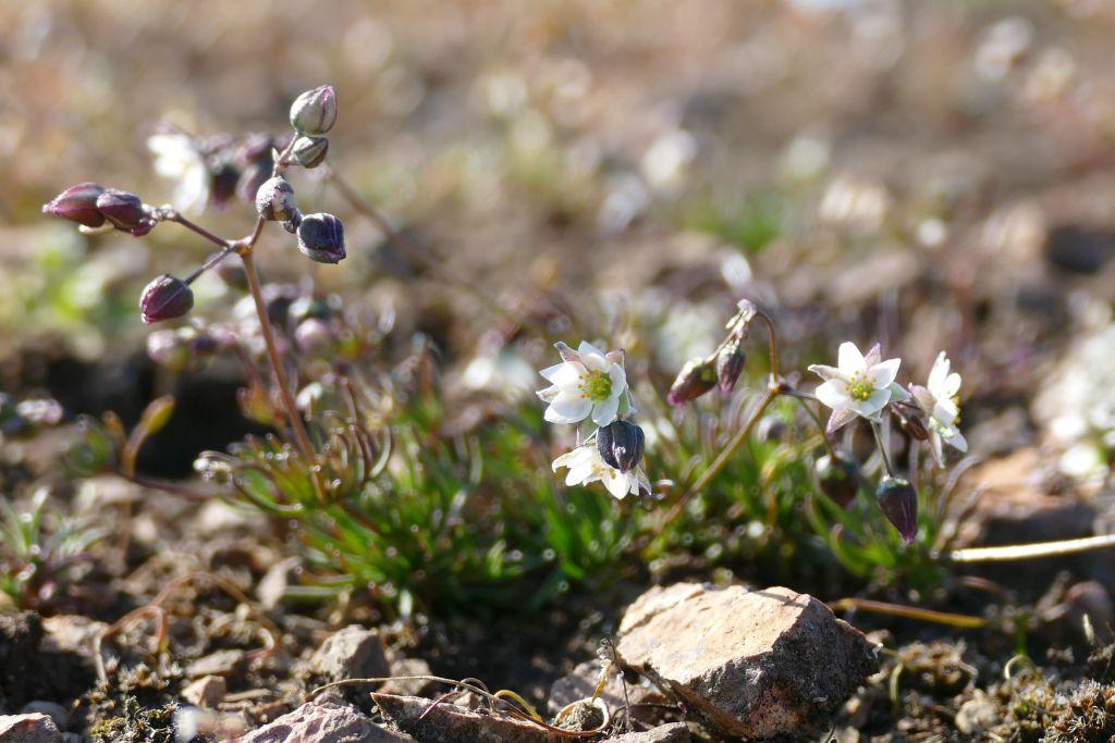 Spergula-morisonii-Brachwitz-01042020-P9310950x-Katrin-Schneider