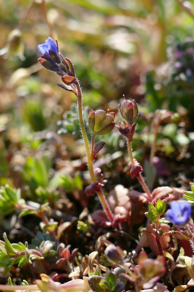 Veronica-praecox-blühend-und-fruchtend-Porphyrkuppe-nö-Brachwitz-01042020-P9310828x-Katrin-Schneider