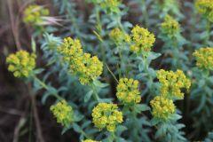 Euphorbia-seguieriana-Gunnar-Hensel-31.05.2020-Friedeburg_2-x