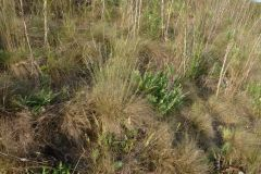Festuca-valesiaca-Salvia-nemorosa_FRANK_Dieter_Langenbogen_27.5.2012-x