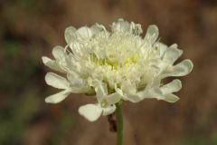 Scabiosa-ochroleuca-EckWill-2014-08-04-218-x