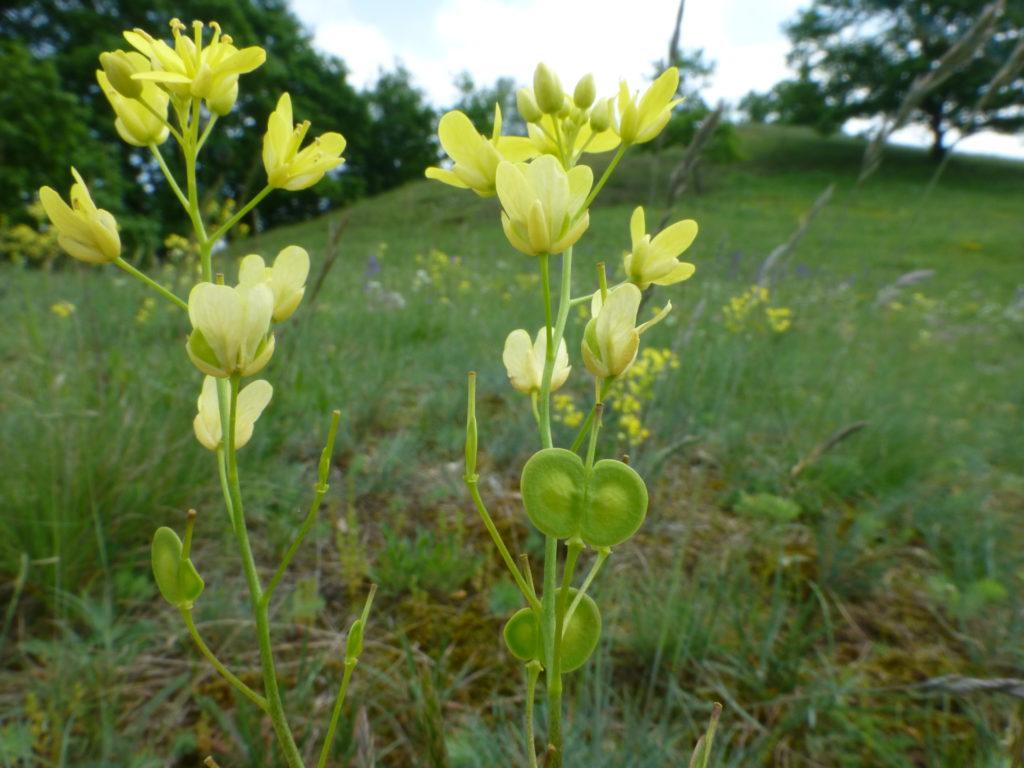 Biscutella laevigata ssp. gracilis, Foto: Dieter Frank
