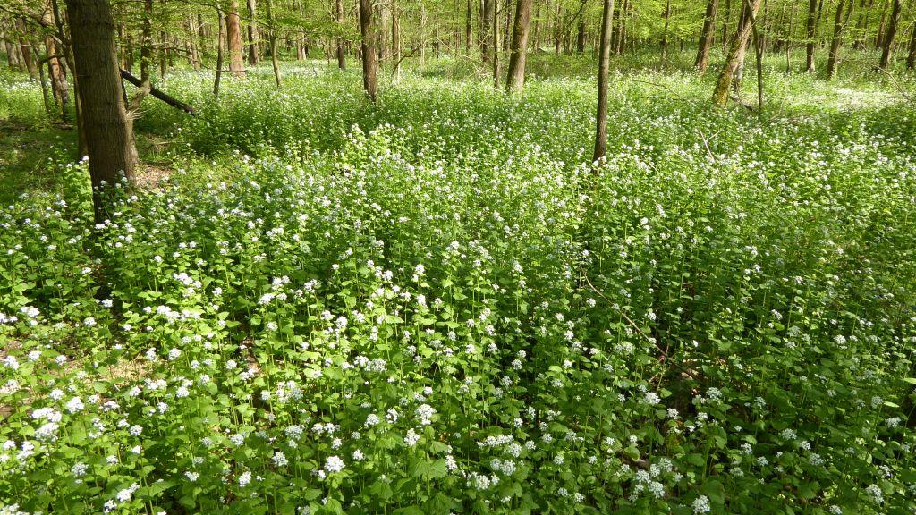 Alliaria-petiolata-Desseu-Mildensee-Tiergarten-P1000186x