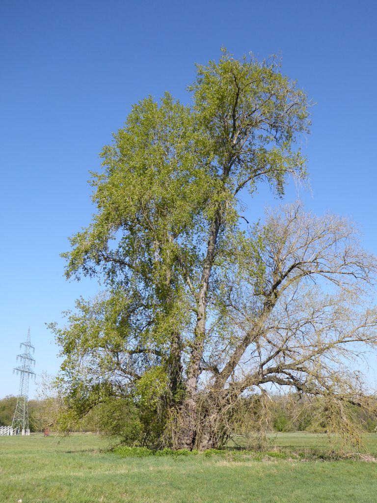Populus-nigra-Kleutsch-Heger-an-Mulde-P1000314x