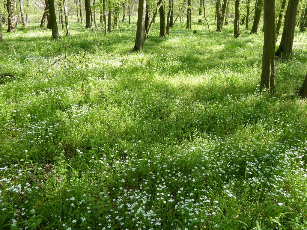 Sternmieren-Hanbuchenwald-mit-Stellaria-holoste-und-Stellaria-neglecta-P...x