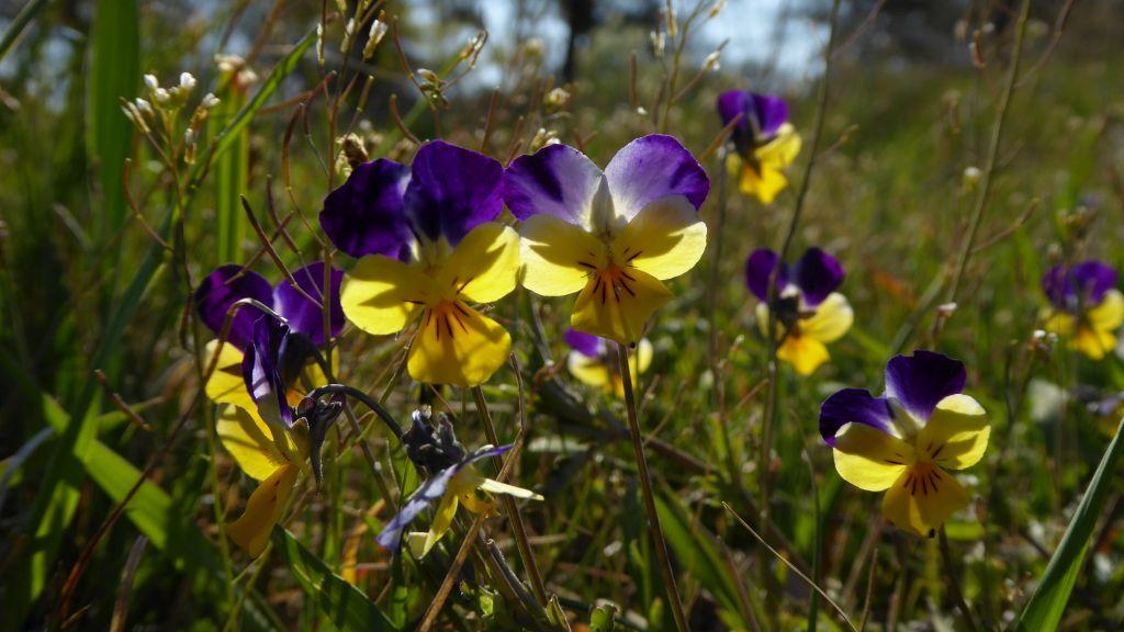 Viola-tricolor-Kleutsch-Heger-an-Mulde-P1000301x