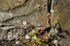 Saxifraga-tridactylites-dessau-Törten-Waldbadx