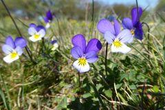 Viola-tricolor-Dessau-Mildensee-Kiebitzheger-Mulde-P1000178x