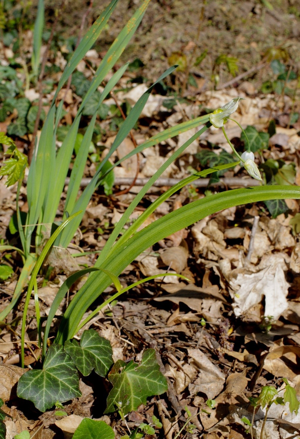 Allium-paradoxum-Raguhn-2