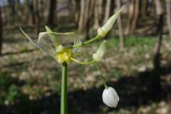 Allium-paradoxum-Raguhn-3