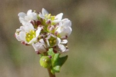 Cochlearia-danica-2-w-Oranienbaum-Eckhard-Willing