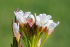 Cardamine-parviflora-2-Eckhard-Willing-20.4.2020